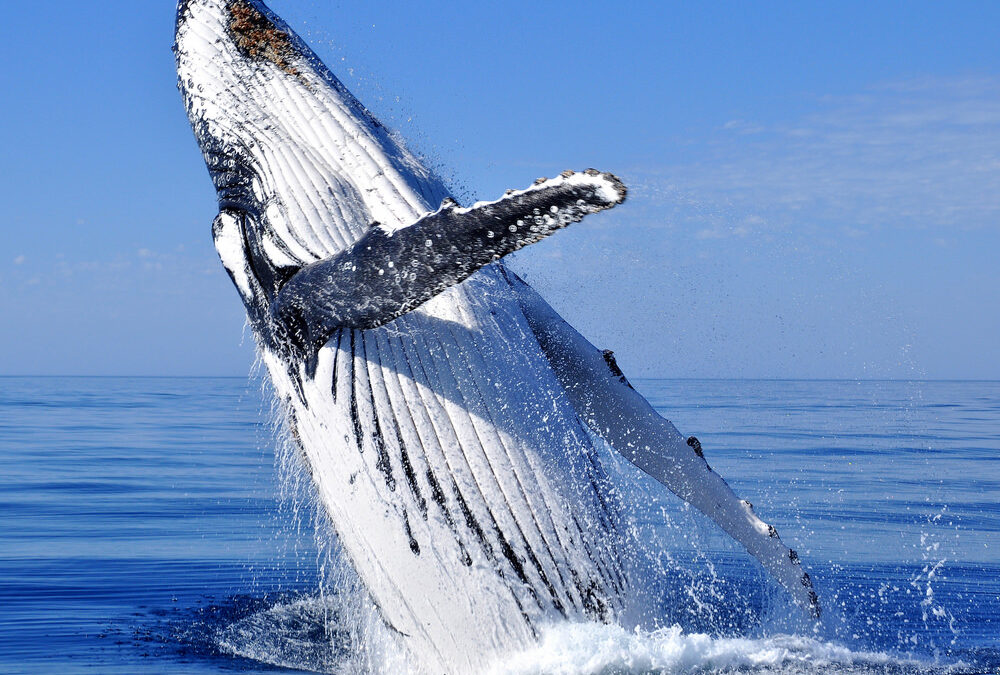 Visit Humpback Whales in Surfers Paradise