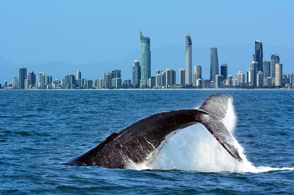 It's Whale Watching Season on the Gold Coast this Spring!